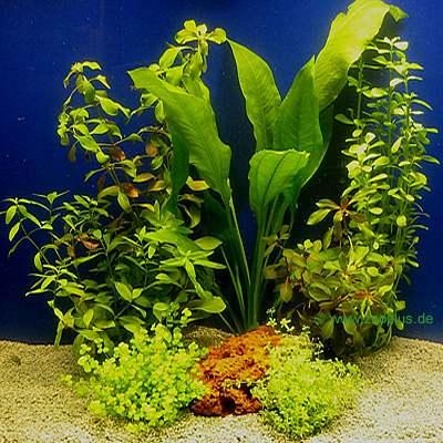 aquarium pflanzen ein wichtiger bestandteil. Black Bedroom Furniture Sets. Home Design Ideas