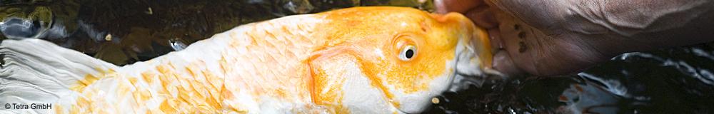 Entdecken Sie unsere Produktvielfalt an Futtersorten für Goldfische & Koi!