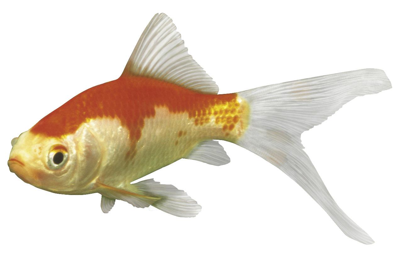 Gartenteich goldfische f ttern garten design ideen um for Einheimische fische gartenteich