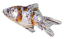 Tetra goldfisch for Shubunkin im gartenteich