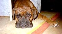 Boxer - eine beliebte Hunderasse seit Jahren