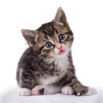 Orijen para gatos