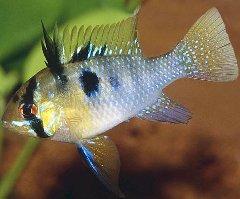 Aquarienmagazin buntbarsche for Heimische teichfische