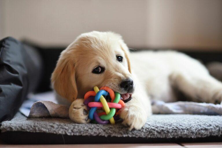 Ein Welpe kaut auf einem Spielzeug.