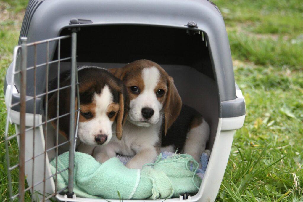 Zwei Welpen in einer Hundebox zur Sozialisation