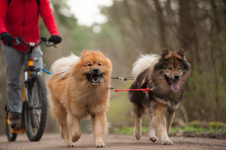 Zwei Hunde laufen mit dem Fahrrad mit