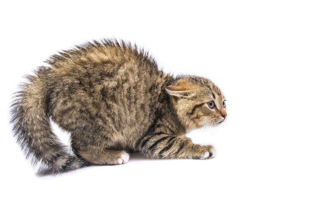 Ängstliche Katze Katzenbuckel