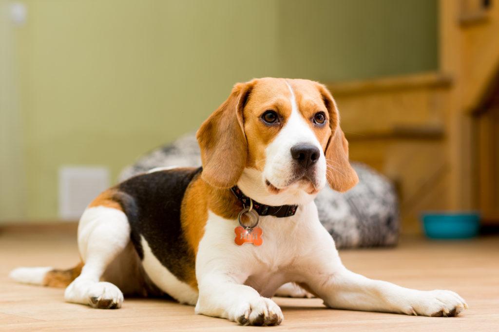 2 Jahre Beagle