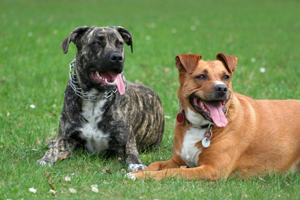Hunde mit Stachelhalsband als Erziehungshalsband