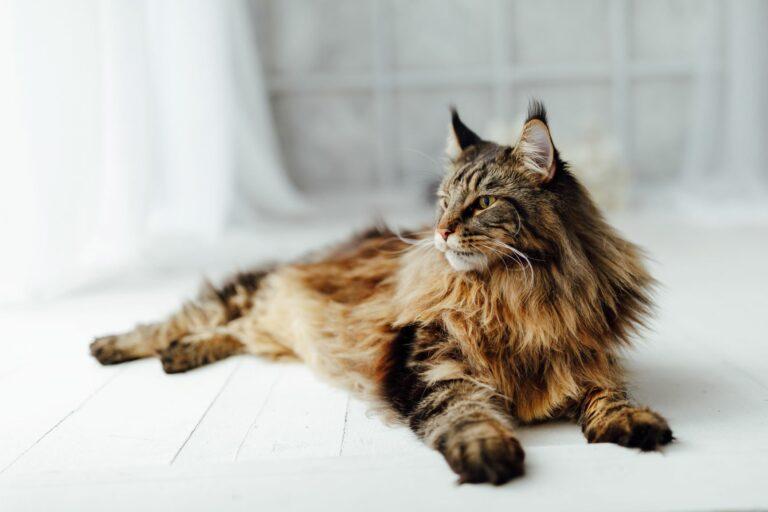 Maine Coon Katze liegt entspannt auf dem Boden
