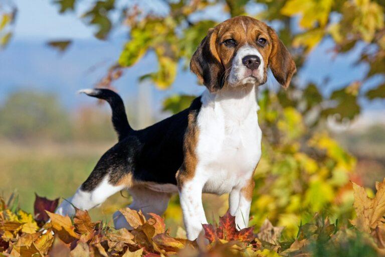 Beagle im Herbstlaub