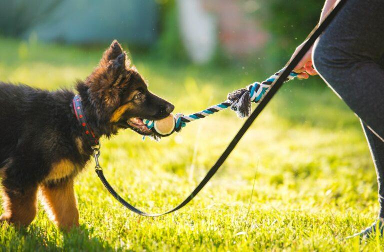 Hund spielt in der Hundeschule mit einem Ball.