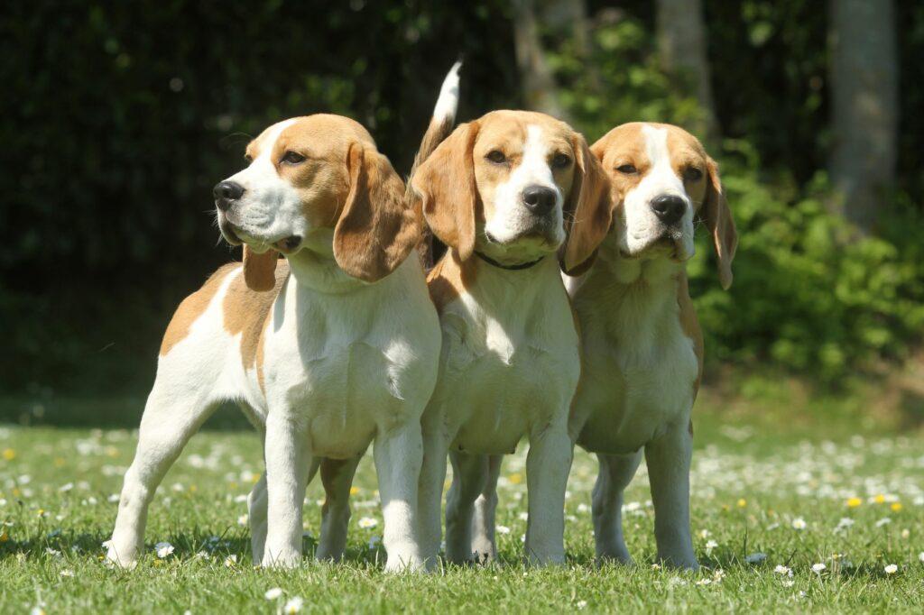 Beagle Meute
