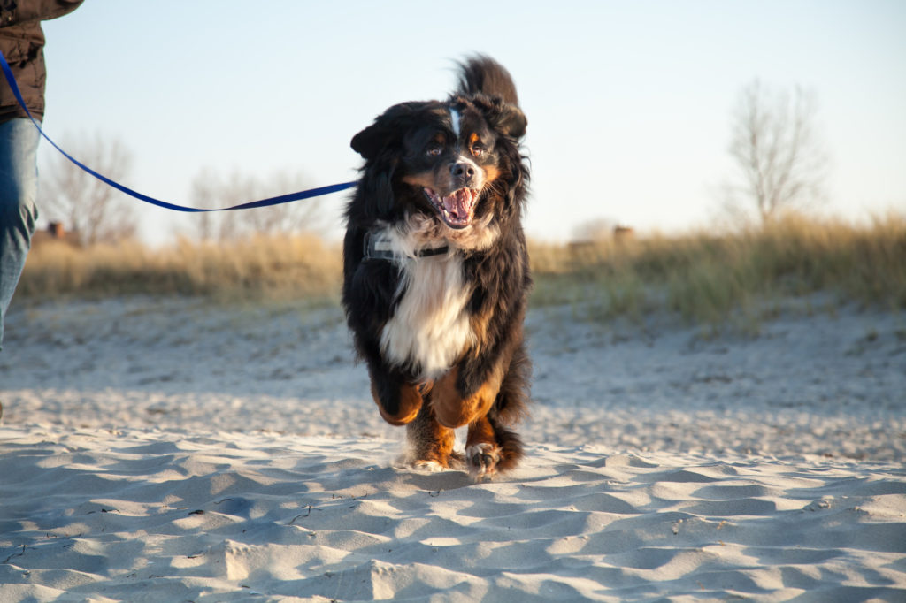 Berner Sennenhund am Strand im Sprint