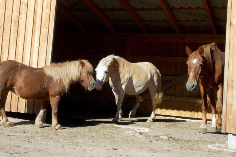 Pferde im Offenstall schmusen miteinander
