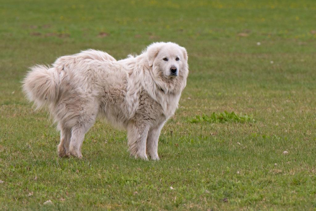 Pyrenäenberghund im grass