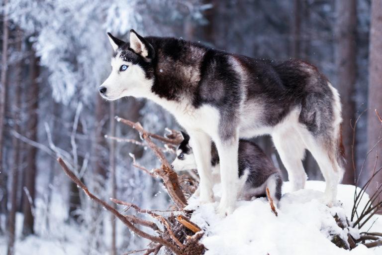 Siberian Husky mit Welpe