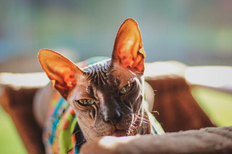 Sphynx-Katze mit Tasthaaren