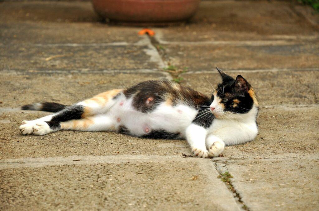 Trächtige Katze Steinboden