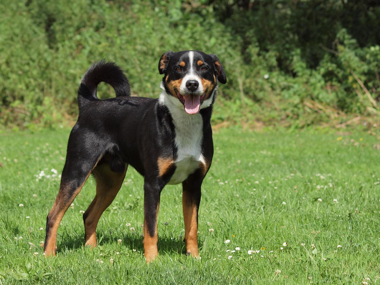 Appenzeller Sennenhund Charakter Haltung Pflege Zooplus