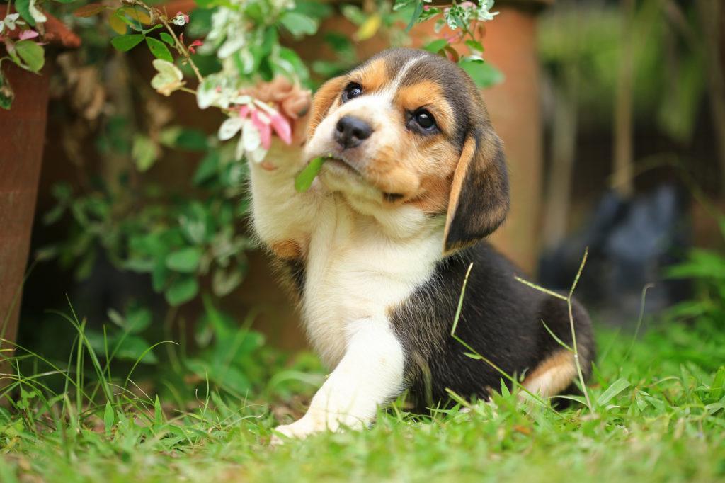 beagle welpe im garten