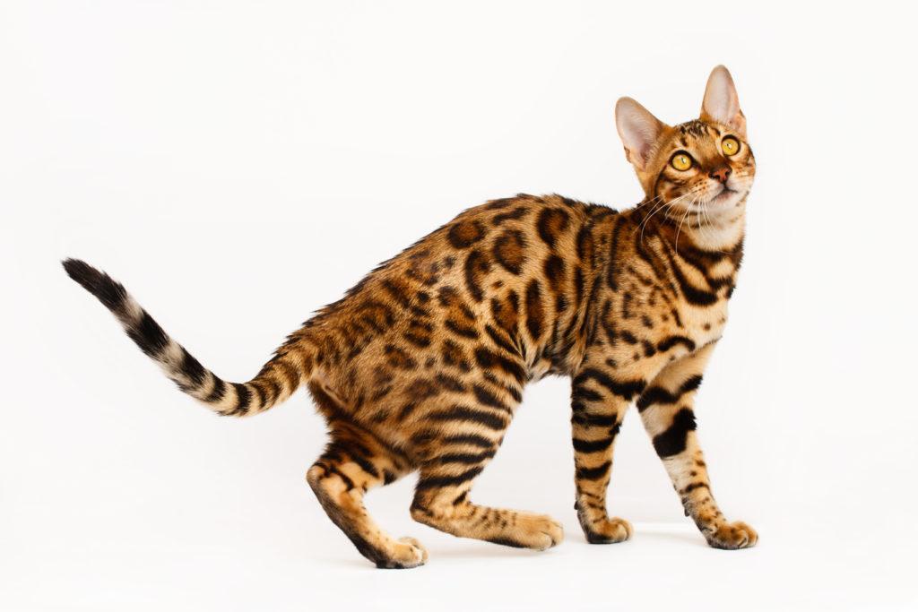 Bengal Katze Charakter Haltung Pflege Zoopus