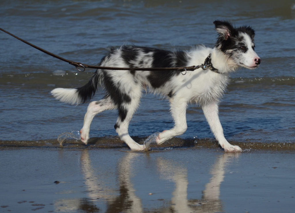 border collie jung merle