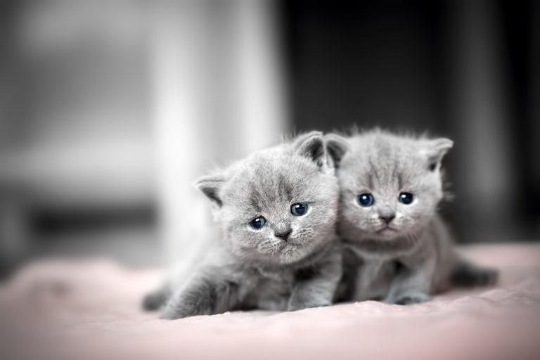 Britisch Kurzhaar Rassebeschreibung   zooplus Katzenmagazin