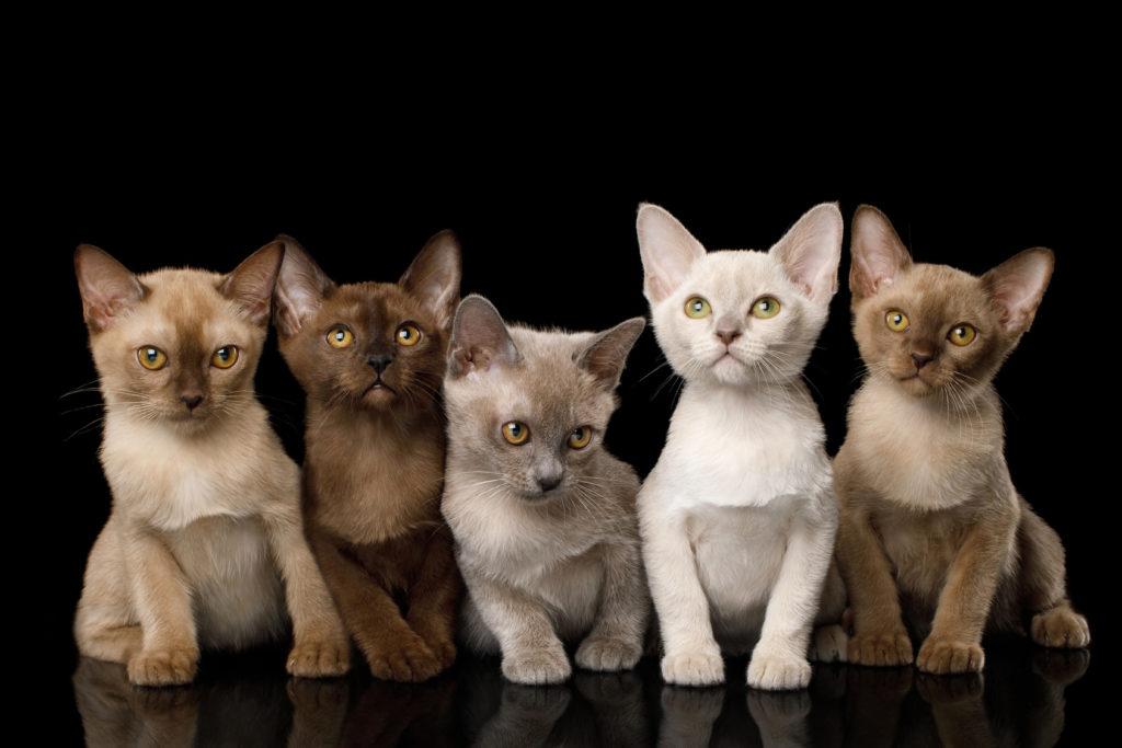 Burma Katze Charakter Haltung Pflege Zooplus