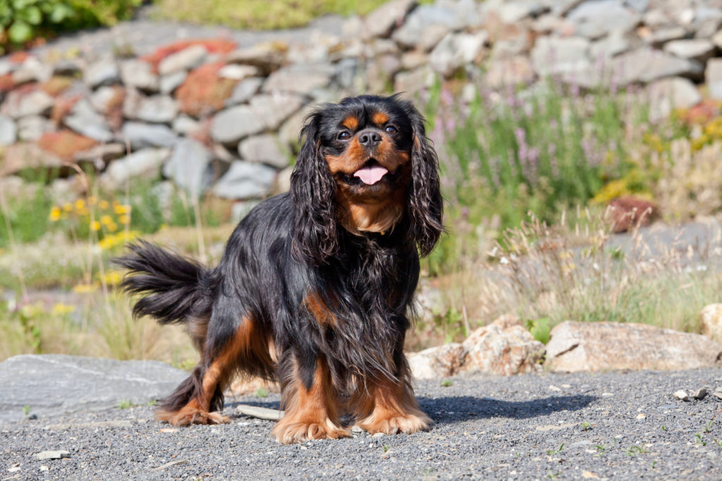cavalier king charles schwarz rot