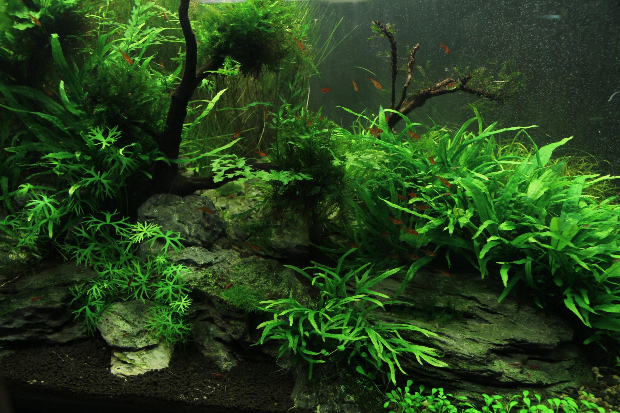 Algen im aquarium arten vorbeugung und entfernung von algen for Algen im aquarium