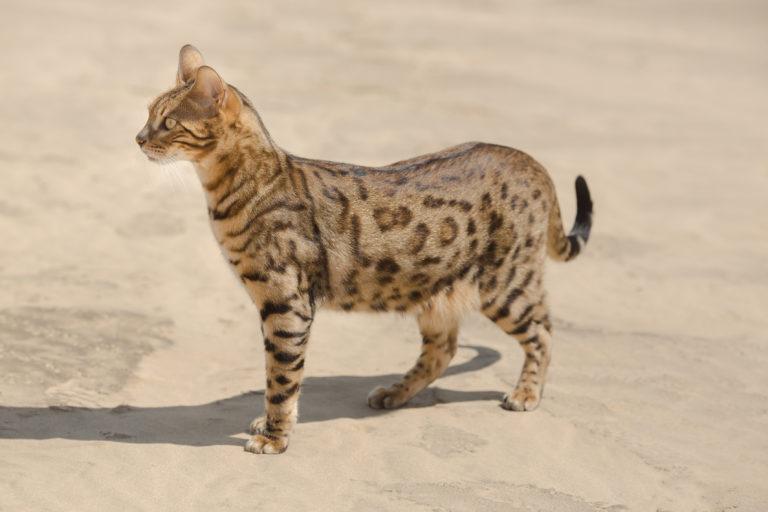 Savannah Katze Charakter Haltung Pflege Zooplus