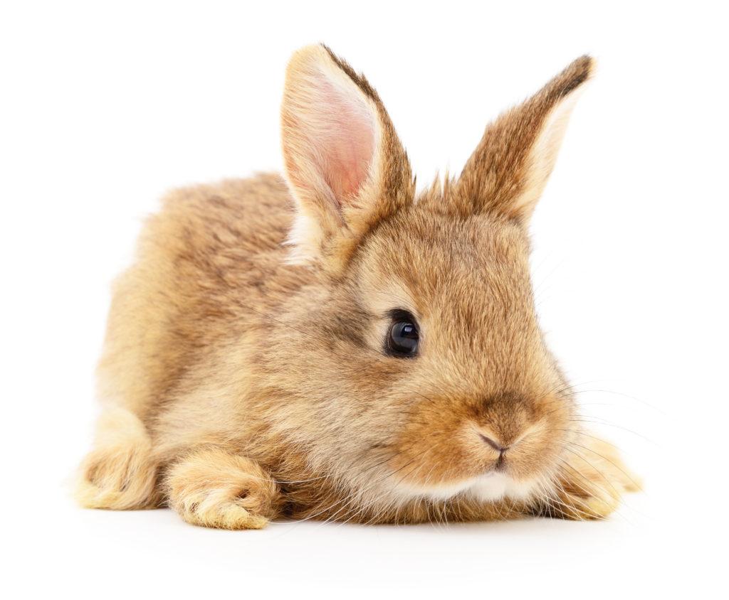 Kaninnchen