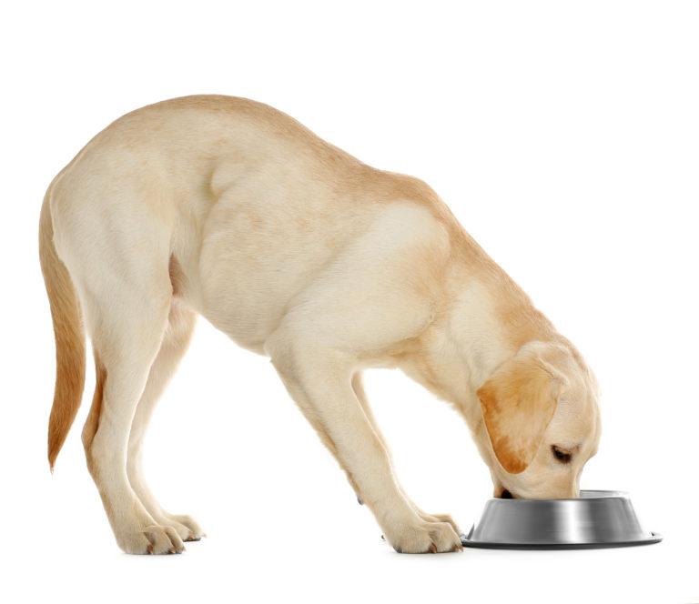 Fütterungsempfehlung labrador