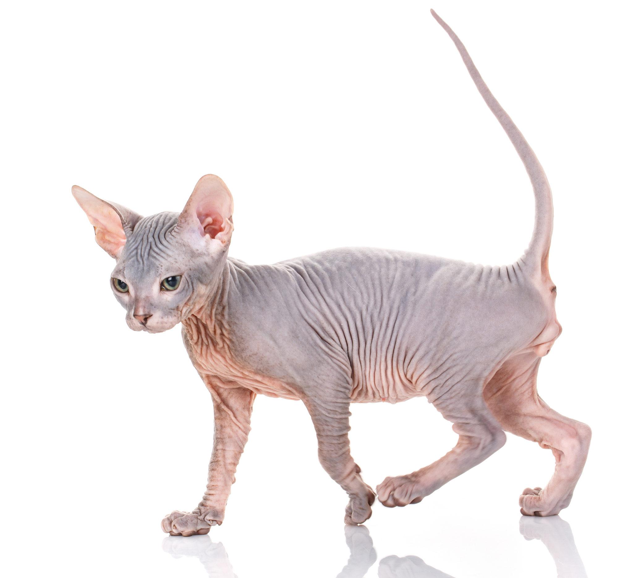 Sphynx Katze Baby - Eine sphynx katze oder ein sphynx