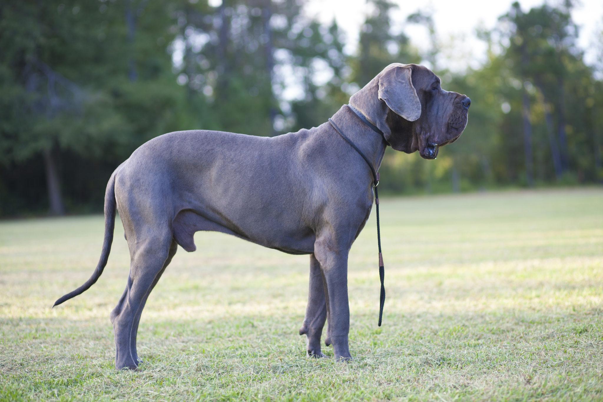 European Great Dane Deutsche Dogge Charakt...
