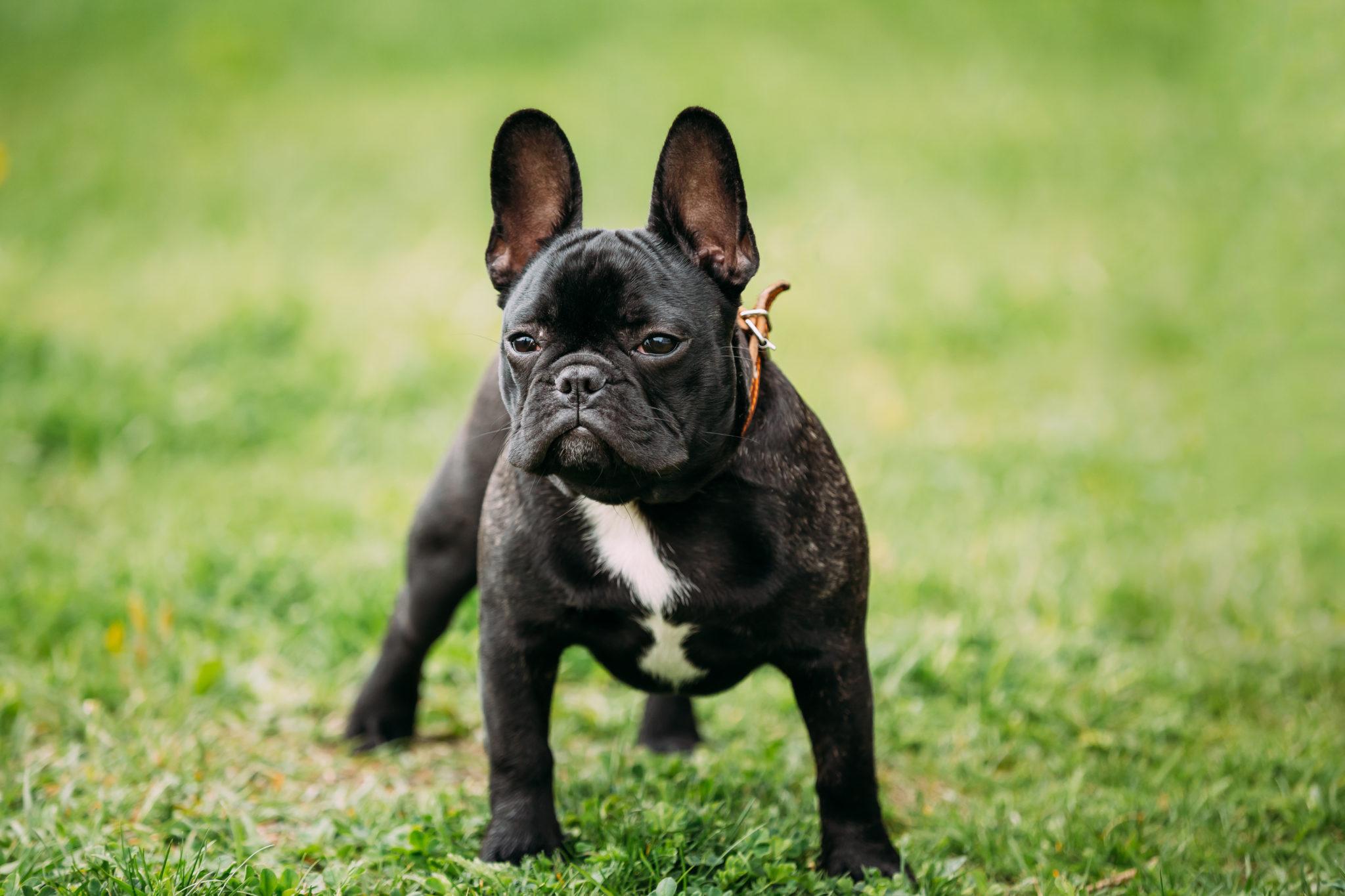 Französische Bulldogge Rassebeschreibung - Zooplus Hundemagazin