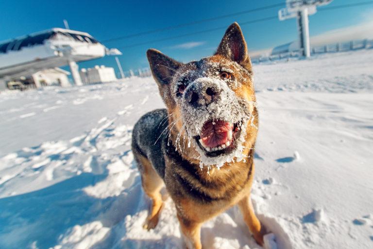 Les chiens et l'hiver