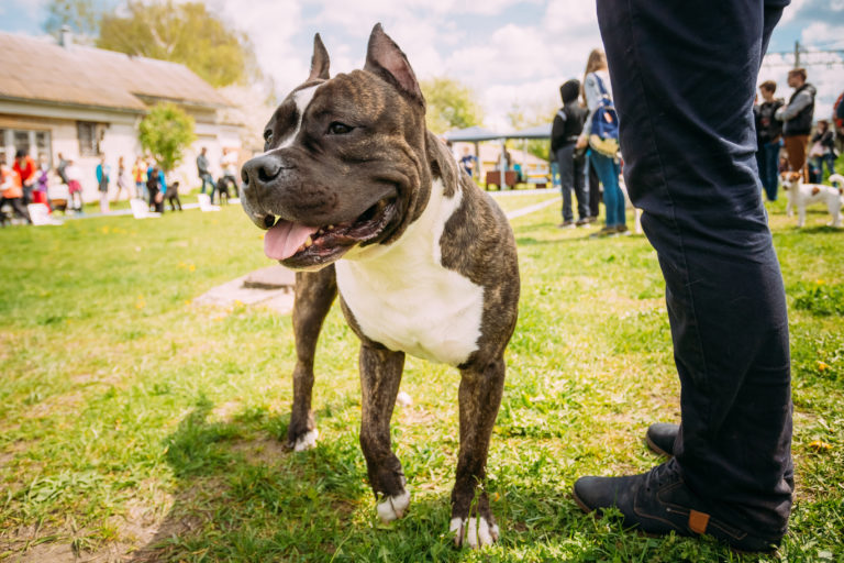 Dog American Staffordshire Terrier hundeschule