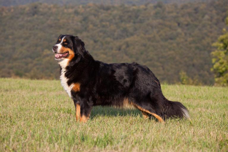 Berner Sennenhund