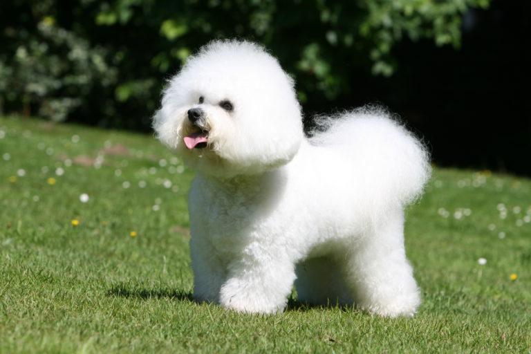bichon frisé hund