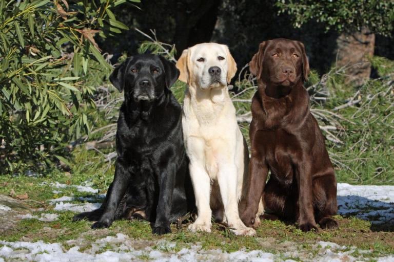 Drei Labrador Retriever in unterschiedlichen Farben