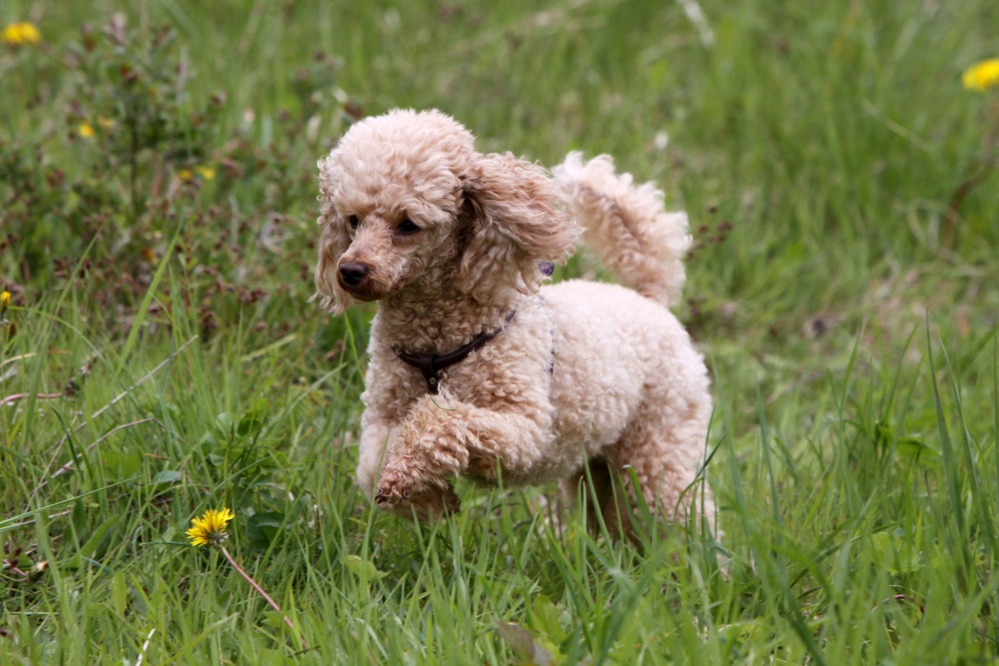 Family raised Goldendoodle and Irish Doodle Puppies for