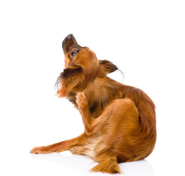 Hautpilzen beim Hund