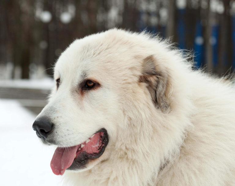 pyrenäen mastiff hund
