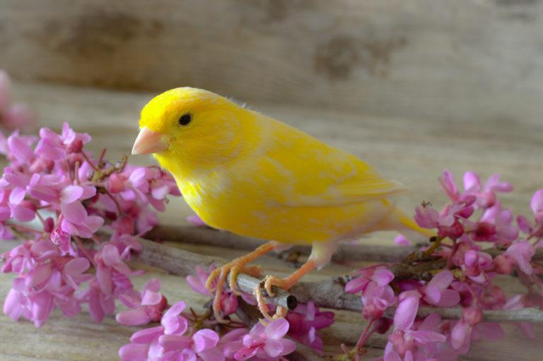 fågelfoder för kanarierfågel
