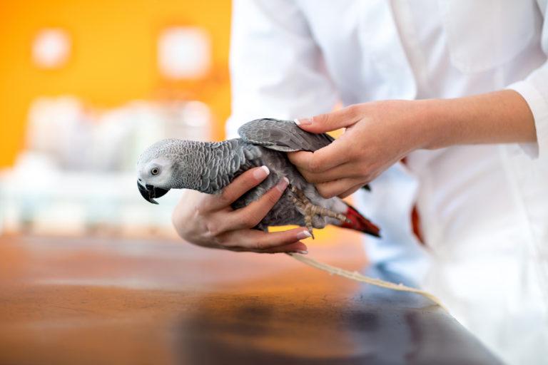 Nierenentzündung bei Vögeln