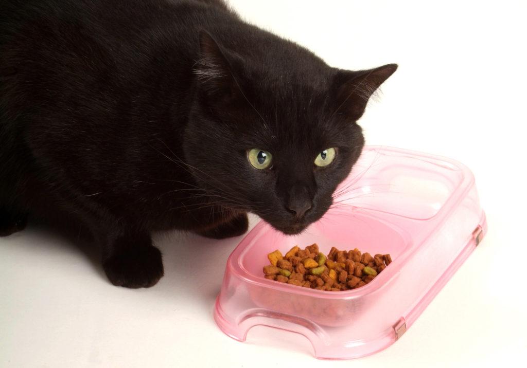 Katze mit Futtermittelallergie frisst aus dem Napf.