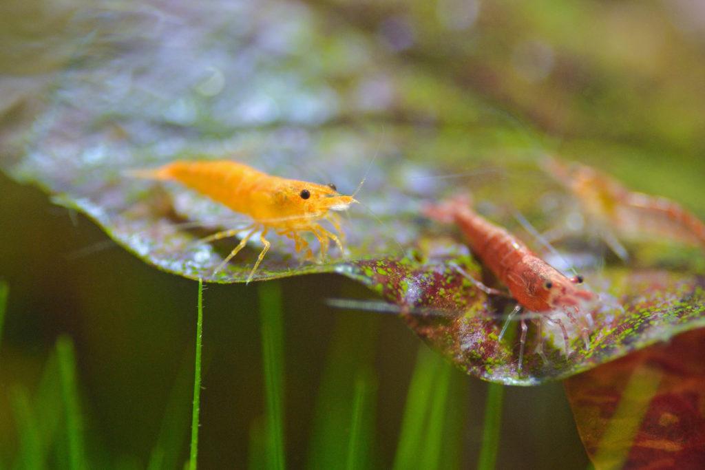 garnelen im aquarium