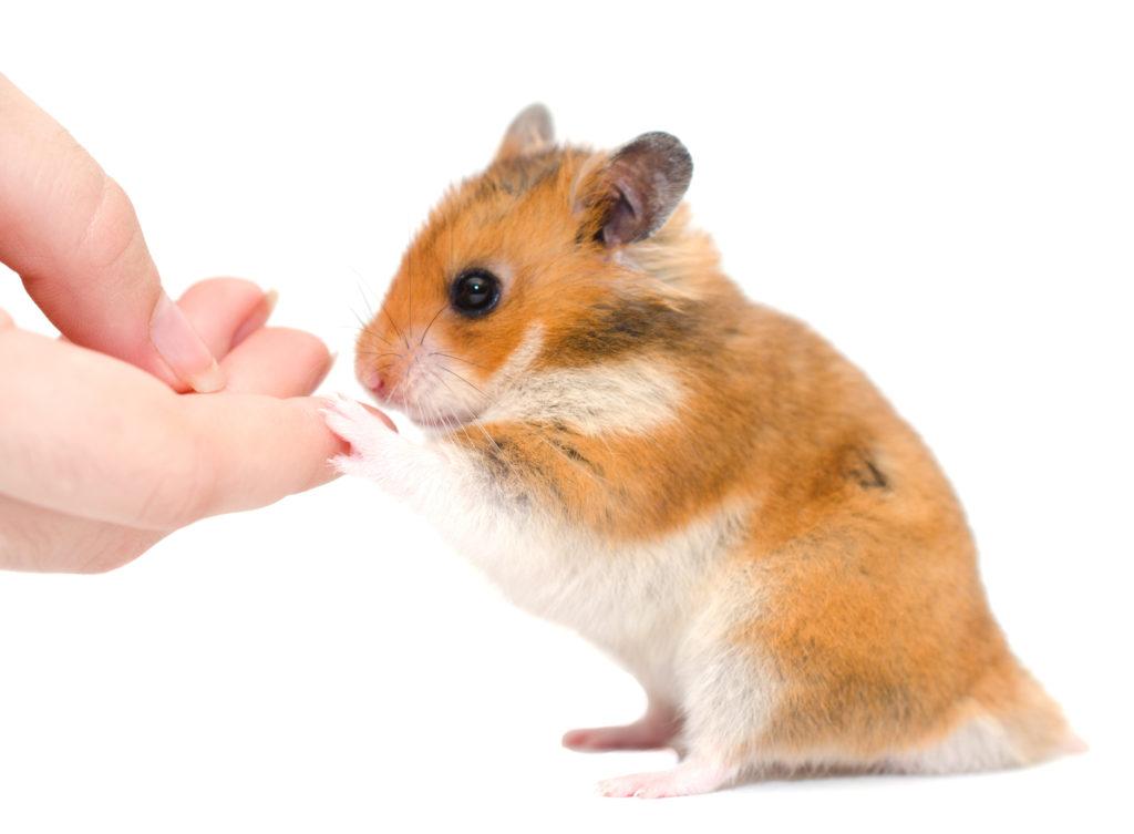 hamstergeräusche